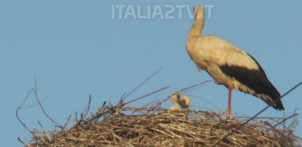 Cicogna Bianca, ecco il video dei neonati cicognini ancora nel nido – video di Italia 2 tv