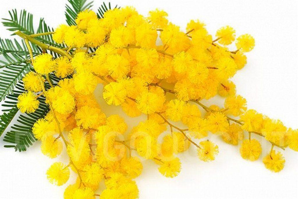 mimosa festa della donna 3 1 1024x683 - Sala Consilina festeggia l'8 marzo con un webinar riflessivo