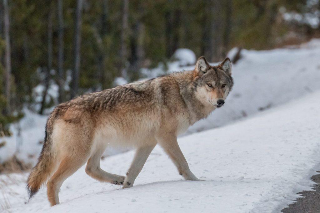 Lupi, l'incrocio con il cane domestico minaccia la specie