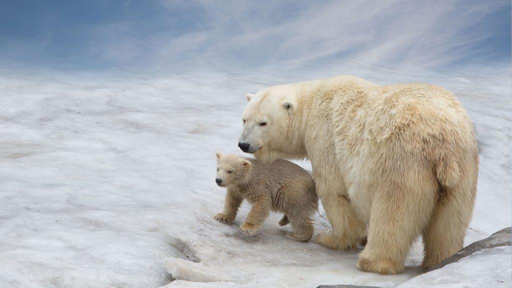 "Polar bear cub 1024x576 - Clima, Wwf al Festival di Venezia: ""Bisogna agire"""